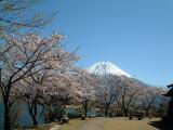 田貫湖からの桜と富士山