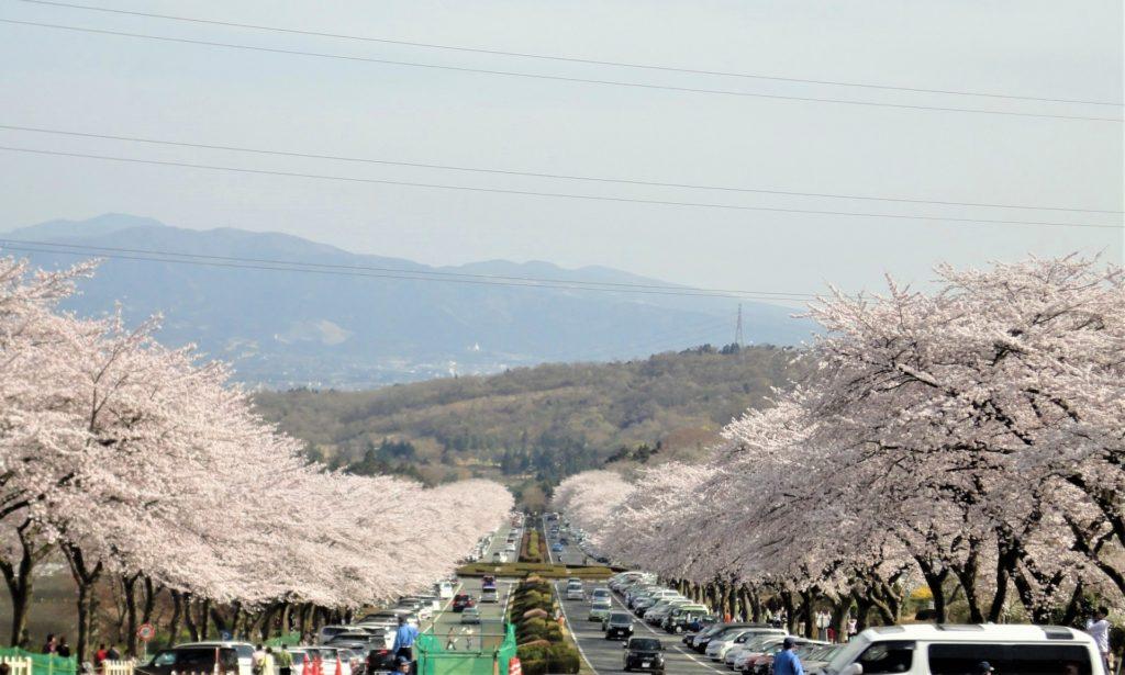 富士霊園の桜並木道