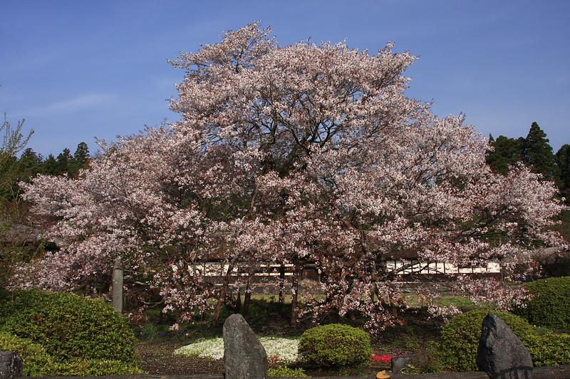 狩宿の下馬桜