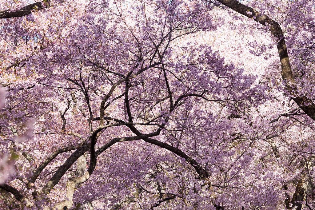 高遠城址公園の桜①